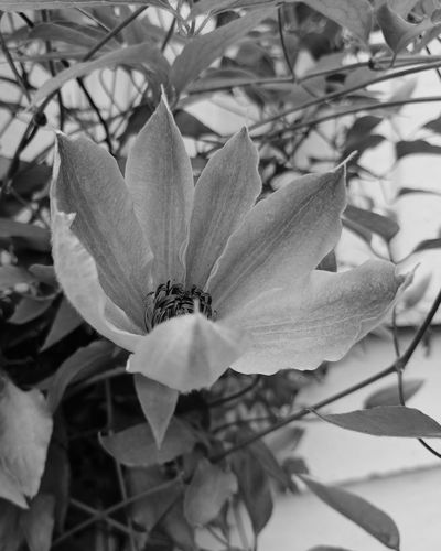 EyeEm Black&white! Petal Close-up Beauty In Nature Leaf Pink Color Flower Head No People Freshness Clematis Vine Flowers In My Garden Love Of Flowers Pick A Color Fragility Plant