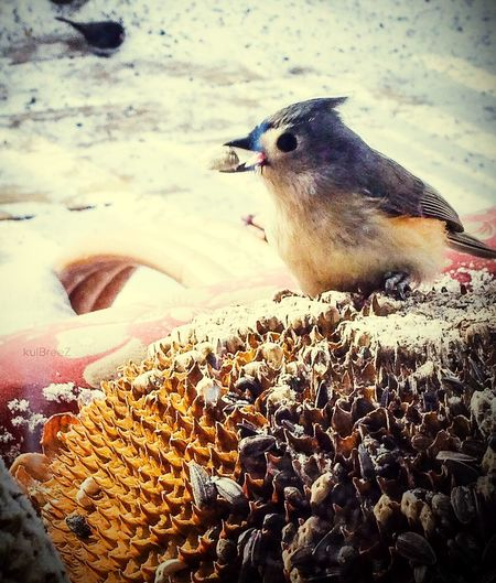 Crack Blue Up Close Sunflower Seeds Titmouse Chicadee Seed Backyard Photography Nature_perfection Bird Shades Of Winter