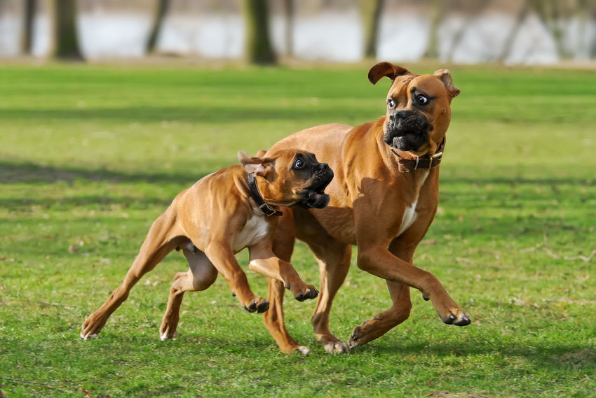 Two frisky German Boxer dogs run a funny race Action Animal Themes Boxer Dogs Dog Dogs Domestic Animals Dynamic Field Friends Frisky Frolic Fun Funny German Boxer Grass Mammal Motion Nature Outdoors Pets Play Playing Puppy Race Pet Portraits