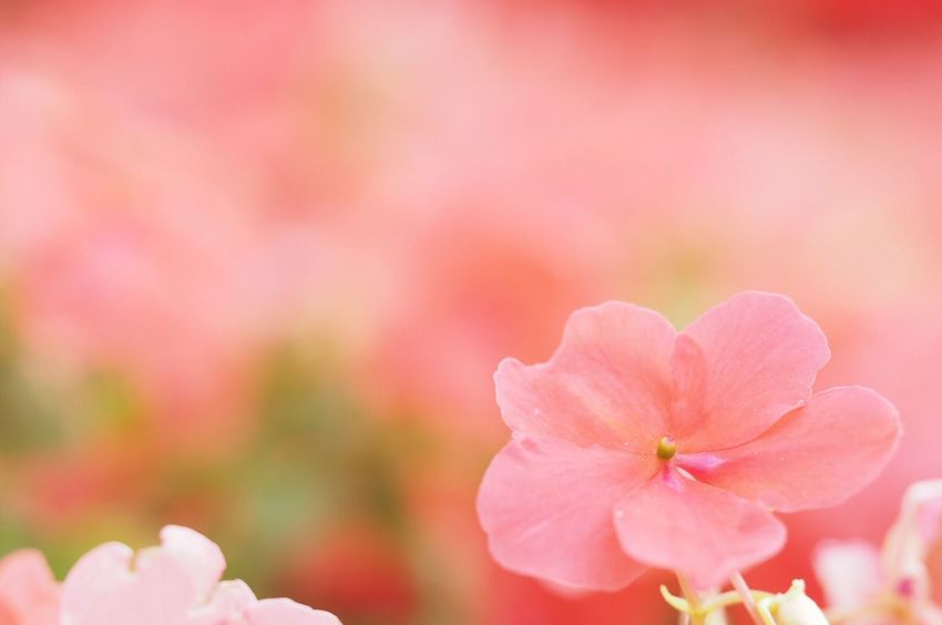 大阪のど真ん中。 Flower Close-up Beauty In Nature Pink Color Nature Pink EyeEm Nature Lover EyeEm Best Shots Macro