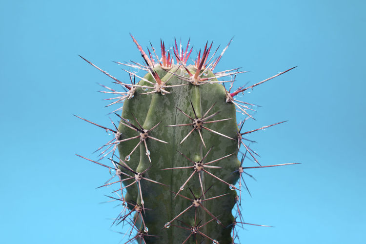cactus my garden ,on white background Beautiful Cactus Cactus Flower Desert Farm Farmer Green Isolated Natural Nature Plant Seed Tree Color Flower Fresh Gymnocalycium Mihanovichii Houseplant Macro Seeding Spring Succulent Plant Water White Background White Color