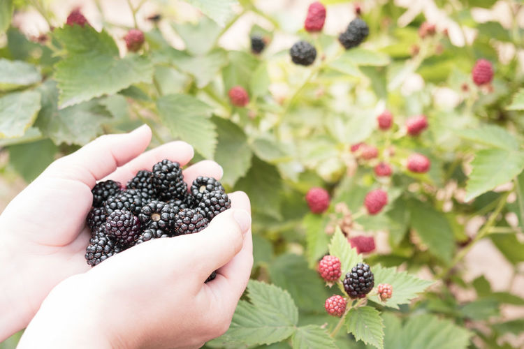Cropped image of hand holding blackberries