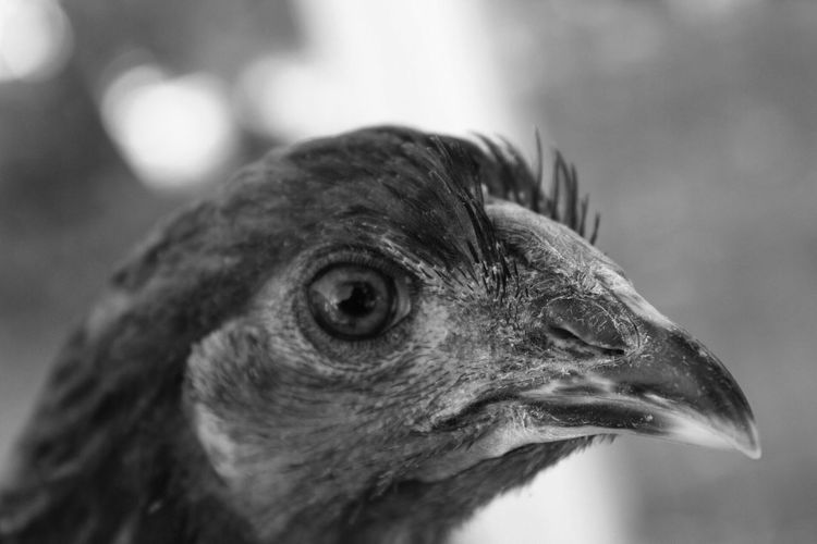 B&W egg layers EyeEmNewHere Eggs Pet Chicken - Bird Animal Themes Animal Close-up Animal Wildlife Vertebrate Animals In The Wild Focus On Foreground No People Animal Body Part Animal Head  Day Bird Looking Away Nature Looking Side View Selective Focus Outdoors Eye Animals In The Wild Beak Looking Away Nature Mammal Profile View Animal Eye