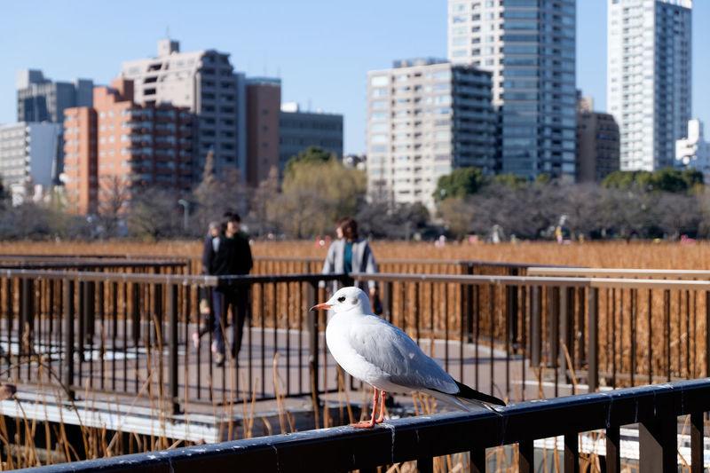 Animal Themes Bird Fence Fujifilm Fujifilm X-E2 Fujifilm_xseries Japan Japan Photography One Animal Pond Ueno Ueno Park Wildlife XC16 ゆりかもめ 上野 不忍池 池 鳥