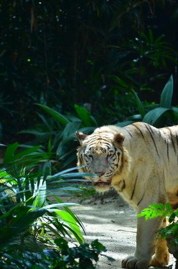 Tiger against blurred background