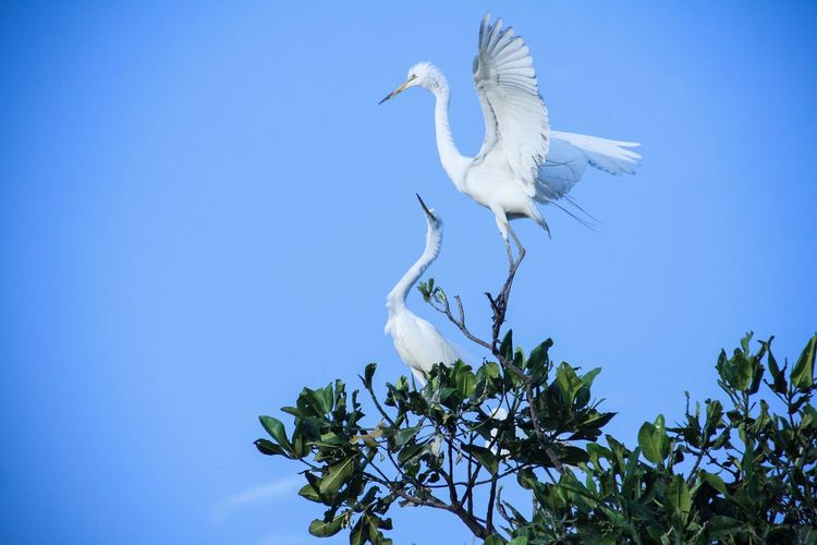 Low Angle View Of Egrets On Tree Against Clear Blue Sky