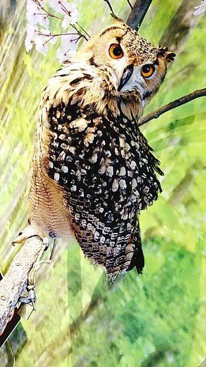 梟 倉敷 美観地区 梟 フクロウ フクロウ Japan Owl Owls