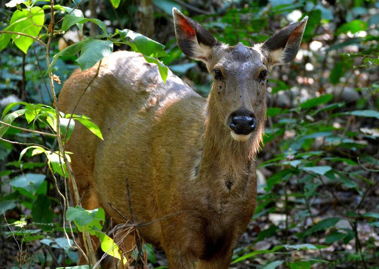 Wildlife Photography Animal Themes Animal Wildlife Animals In The Wild Forest Photography Looking At Camera Nature Portrait Sambhar Deer