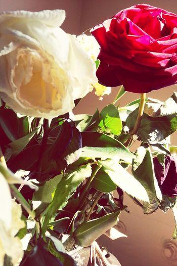 Red Rose & Whiterose Goodmorning
