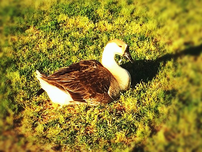 Beautiful Goose, just sunning itself, by the pond. Gave it some bread.💫 Just Me. Goose West Wetlands, Yuma, AZ Tranquil Scene Nature Photography Fun With IPhone IPhone Photography Enjoying The Morning Animal Themes Animal Animals In The Wild Animal Wildlife Bird One Animal Grass Nature Outdoors Sunlight