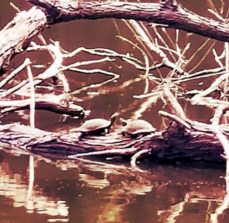Turtles sunbathing Animals Turtle 🐢 Lake Tree Nature Reptile Warm Light Lakeshore Lakeside Calm Turtle
