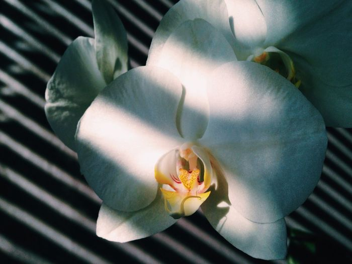 Close-up of white orchid blooming outdoors