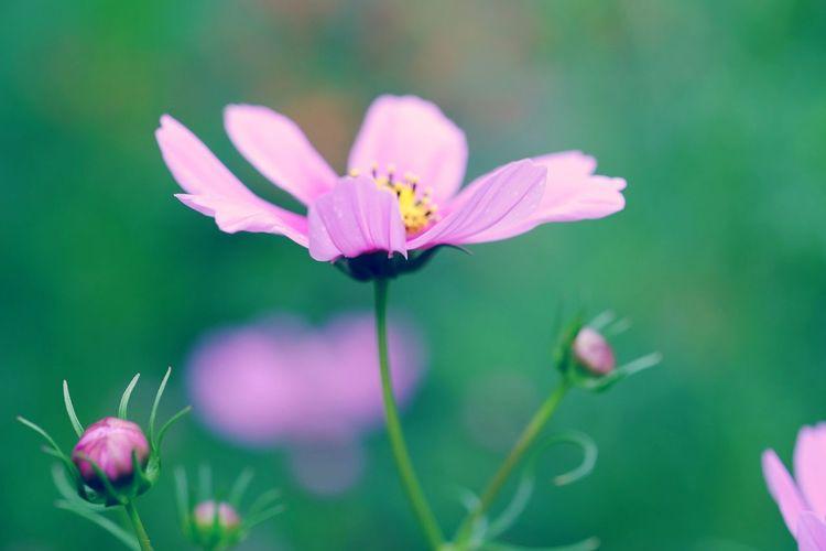 EyeEm Selects Flower Head Flower Pink Color Petal Close-up Plant