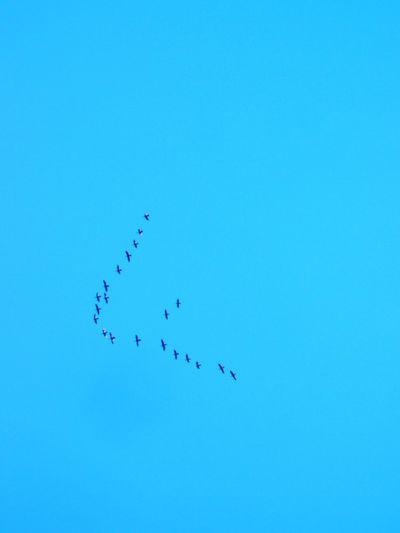V formation – flock of flying birds Flying Far Shot Blue Sky Behaviour Direction Freedom Wildlife Nature Bird Togetherness Flock Of Birds