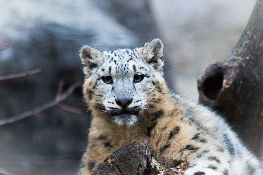 Snow leopard cub - don't have to tell you that it was more than cute😂😆 Snow Leopard Cold Days Zoombastic Naturelovers Animals EyeEm Nature Lover Zoom Zoo Animals  ZOO-PHOTO Animal_collection EyeEm Animal Lover Animal Photography Leopard Showcase: January