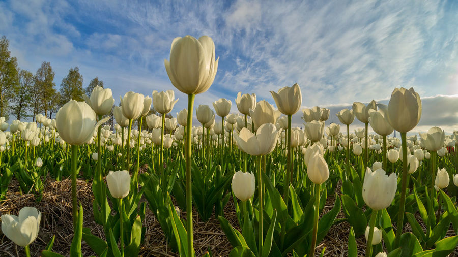 Close-up of crocus blooming on field against sky