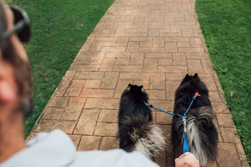 Finnish Lapphund dogs on a walk. Adult Bonding Day Dock Dog Domestic Animals Finnish Lapphund Fluffy Grass Health High Angle View Human Hand Landscape Leash Leisure Activity Lifestyles Mammal Man Outdoors Park Pet Pets Real People Walk Walking