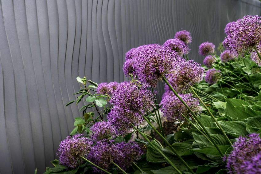 Allium Cristophii Beauty In Nature Blooming Close-up Fence Flower Flower Head Fragility Freshness Allium Allium Flower Modern Modern Architecture Nature No People Outdoors Petal Purple Springtime Steel Steel Structure  Zierlauch The EyeEm Collection Premium Collection Getty Images