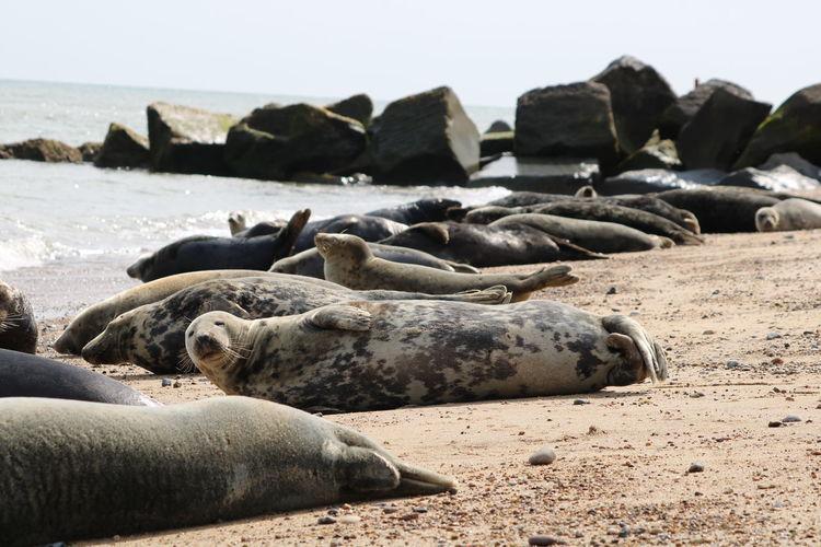 Sunbathing sea lions