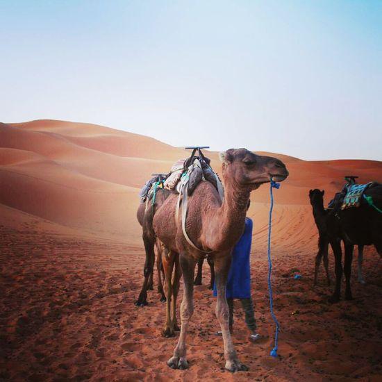 Sand Dune Desert Sand Arid Climate Adventure Clear Sky Standing Camel Sky Working Animal EyeEmNewHere The Traveler - 2018 EyeEm Awards