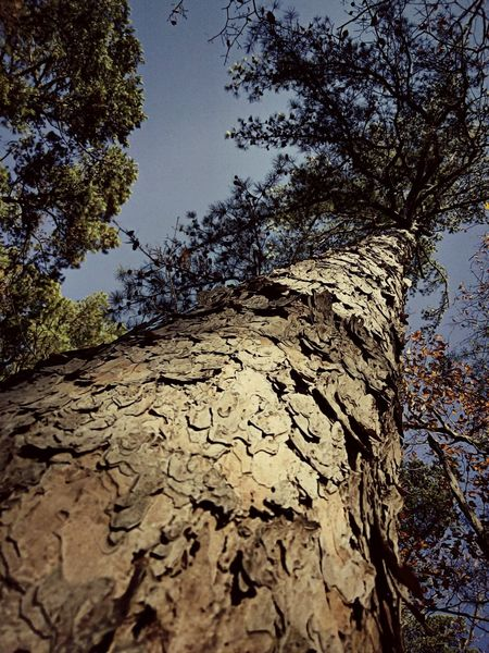 Tree Low Angle View Day Sky No People Nature Outdoors Growth Close-up Pinebarrens Piney Visual Creativity