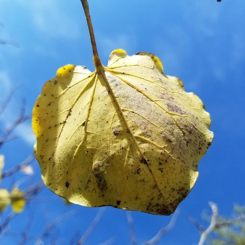 Oklahoma Redbud leaf in the fall.. Garden Garden Photography Gardens Yellow Leaf Oklahoma Garden Blue Sky Oklahoma Redbud Close-up Single Object Oklahoma Oklahoma Nature Cercis Veins In Leaves Bright Hanging No People Blue Close-up Sky Day Outdoors