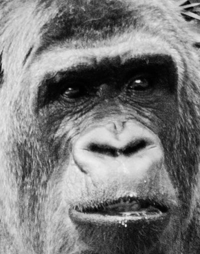 Animal Animal Themes Animal Wildlife Animals In The Wild Ape Chimpanzee Close-up Day Gorilla Looking At Camera Mammal Monkey Nature One Animal One Man Only One Person Only Men Outdoors People Portrait