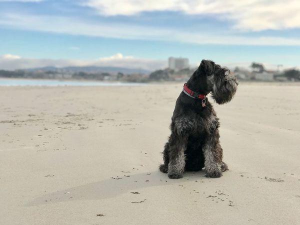 Beach Sea Schnauzer Dog Perro Playa Pet Portraits