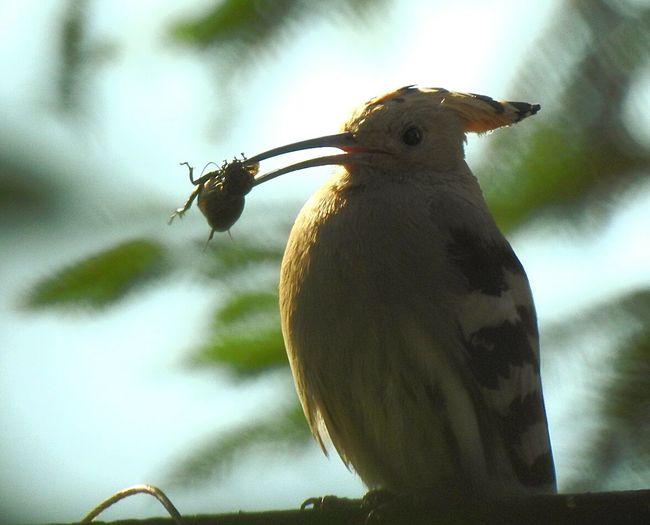 Next dudek bird. Animal Themes Outdoors No People Day Bird Birds Of EyeEm  Birds🐦⛅ Animals In The Wild Dudek. Bird. Borowiakpassion&photography