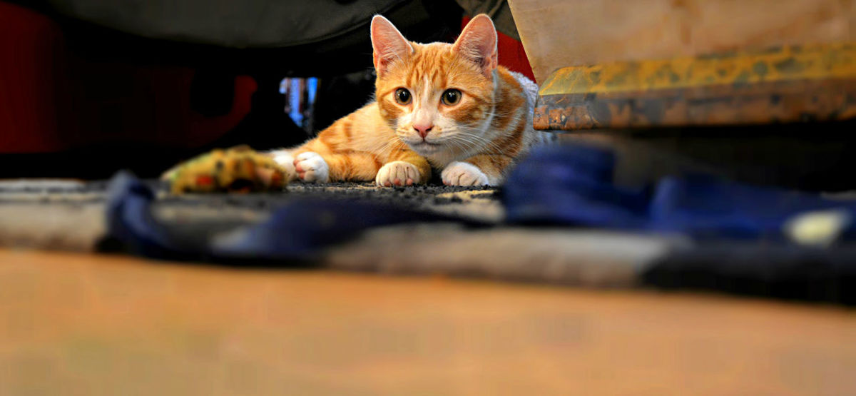 Beautiful Animal Themes Bengalcrosskitten Domestic Animals Domestic Cat Feline Ginger Cat Indoors  Looking At Camera No Name Yet One Animal Pets Portrait Purrfect