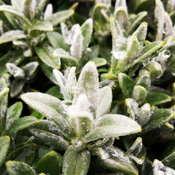 Green Color Vegetable Alternative Medicine Marijuana - Herbal Cannabis Food And Drink No People Close-up