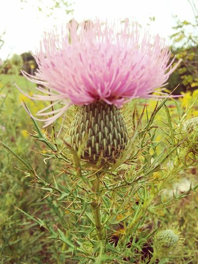 bloom of beauty Beautiful Bloom Living Life My Spot Beauty In Nature Nature Collection Purple Flower Spiky Flower Head Eastern Purple Coneflower Flower Thistle Field Petal Close-up Plant In Bloom Pollen
