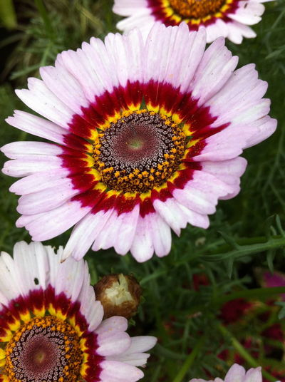 Close-up of pink daisy blooming outdoors