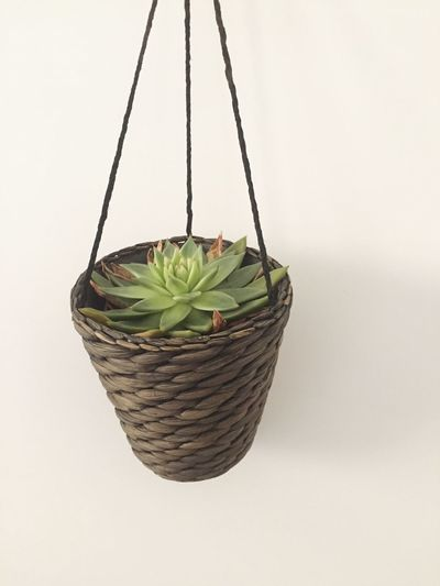 SucculentsLover Succulent Plant Basket Leaf White Background No People Plant Studio Shot Green Color Growth Hanging Close-up Indoors