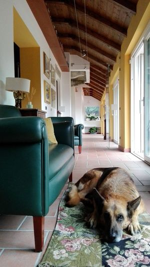 Dog Doglife Corridor Country House Countrylife Window Carpet Hallway Home Tranquillity Relax Quiet Sleepy Sofa Leather Couch Carpet Armchair Green Leather Chic Interior Indoors  Domestic Animals