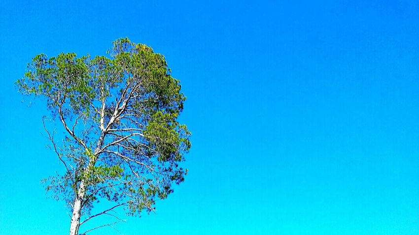 Blue Clear Sky Tree Nature Sky Beauty In Nature Growth Outdoors Tranquility Plant Scenics Day Branch Freshness Minimalism Minimal Minimalist