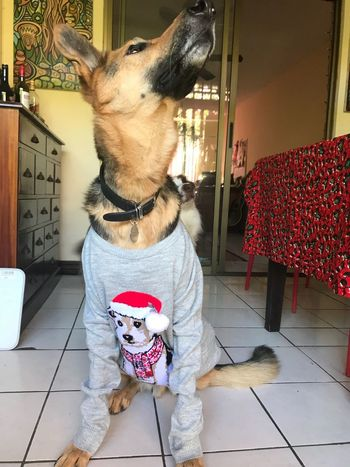 Domestic Animals Dog Jumper Christmas Pets One Animal Mammal Animal Themes Home Interior Indoors  One Person Day People