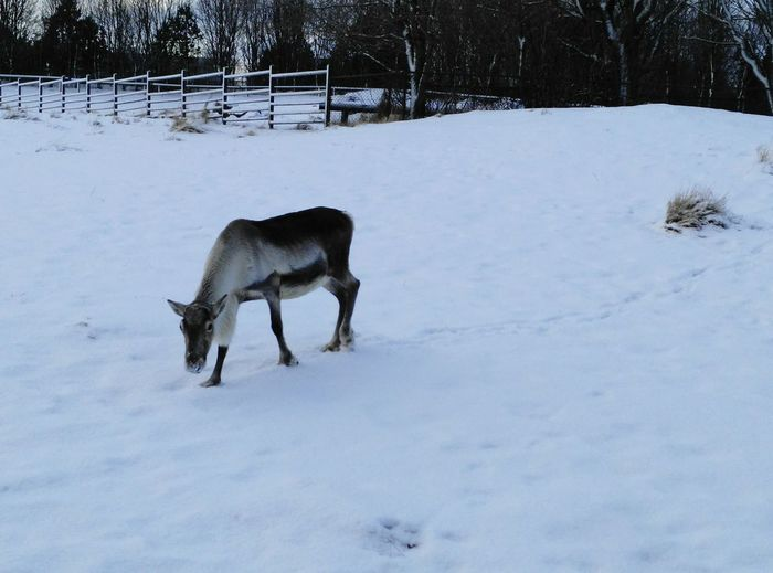 animal photography Snow Cold Temperature Winter Animal Wildlife Animals In The Wild Animal One Animal