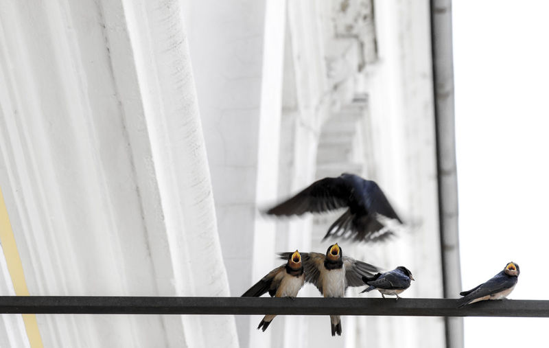 Low Angle View Of Swallows On Metal Rod Against Building