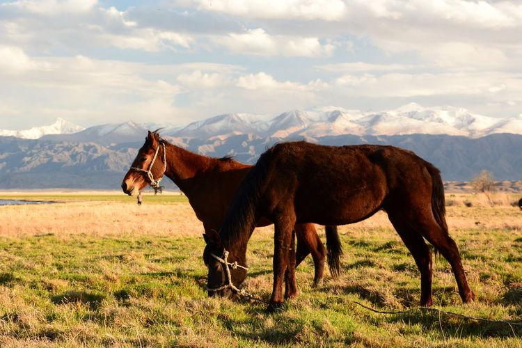 Horses. balykchy. issyk-kul region. kyrgyzstan