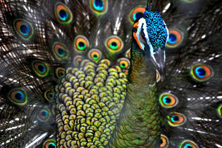 the beauty of a peacock Animal Animals In The Wild Bird Birds Peacock Birds