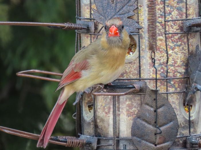 Female cardinal bird at the feeder closeup looking forward focus on the foreground Birds of EyeEm EyeEm nature lover Bird Animal Themes One Animal No People
