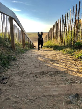 Here boy! Black Dog Dog Running Direction Lifestyles The Way Forward Full Length Transportation Motion Footpath Nature