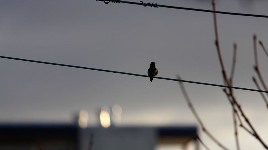 Animal Bird Nature No People One Animal Outdoors Perching Power Line  Sparse
