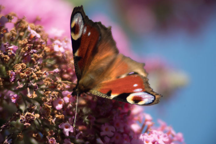 Butterfly Animal In The City Animal Themes Blue Color Butterfly Close Up Day Low Angle View No People Outdoors Pink Color Pollinating Insect Summer Time