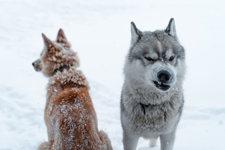 View of dogs on snow covered landscape