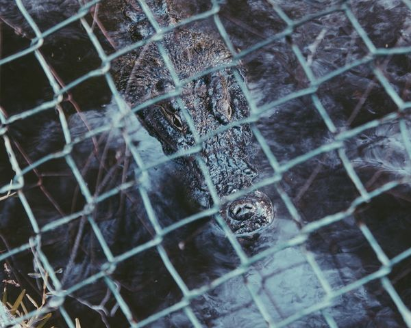 Caged Croc Backgrounds Full Frame Pattern Close-up Chainlink Fence