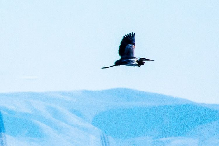 The Crane Takes Flight EyeEm Nature Lover EyEmNewHere Refuge Utah Springtime Bird Flying Animal Vertebrate Animal Themes Animals In The Wild Animal Wildlife One Animal Spread Wings Day Nature Mid-air Low Angle View Blue No People Sky Motion Beauty In Nature Outdoors