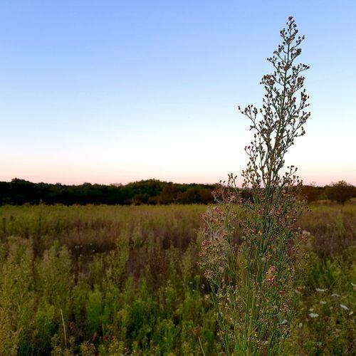 Plants growing on field against clear sky