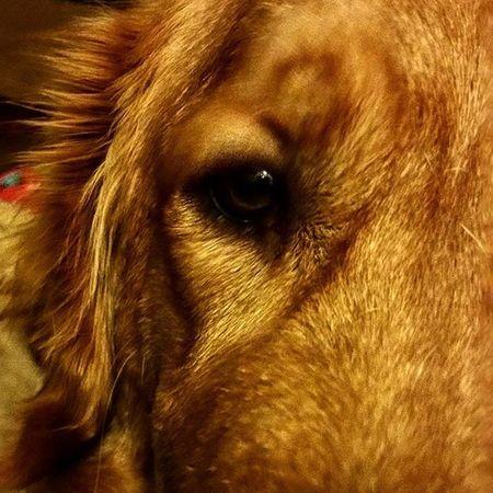 Chase Dog Eye Puppyeyes Goldenretrievers Goldenretriever Goldensofinstagram Luckyyouanimalrescue Rescuedog Serious